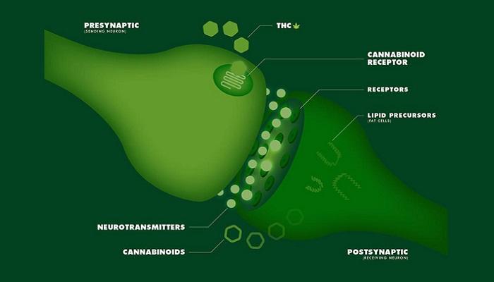 Эндогенные системы каннабиноидов