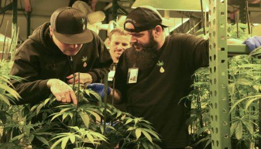 marijuana_growers