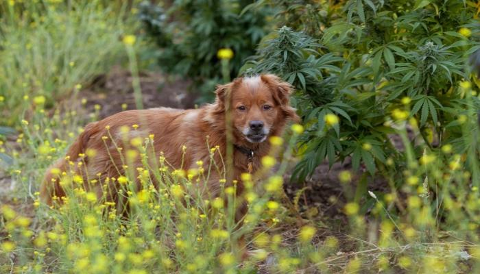 Устойчивость к инфекциями у животных, подвергшихся воздействию каннабиноидов