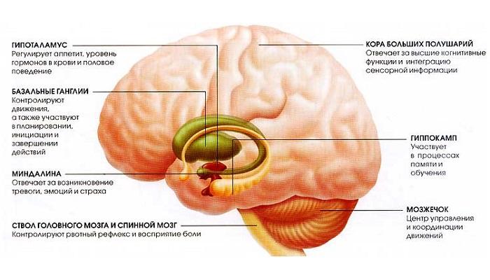 Каннабиноидные рецепторы и функции мозга (часть 2)