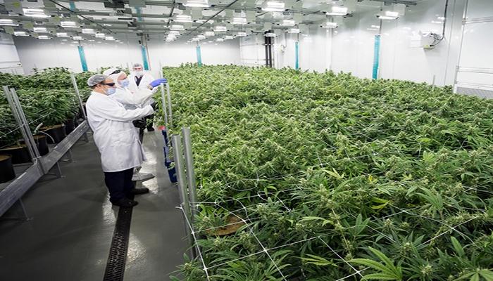 Медицинская марихуана делает еще один шаг к легитимности в Альберте, Канада