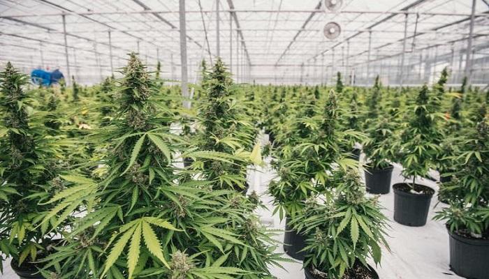 История промышленности медицинской марихуаны в США