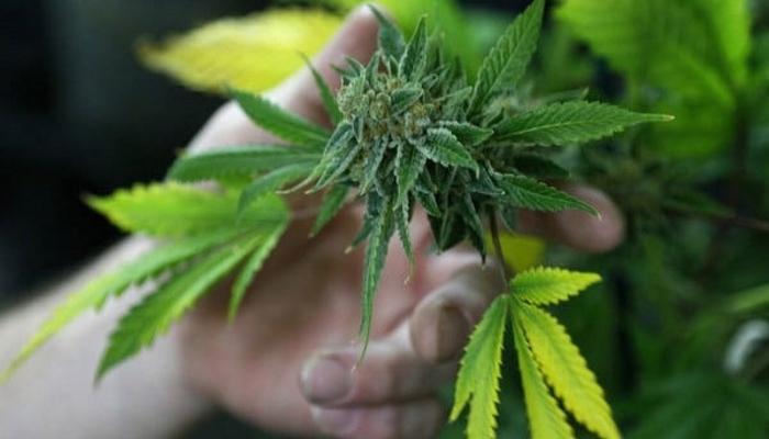 Целебная сила марихуаны