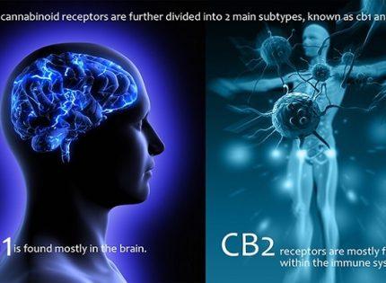 Разобщенные сигнализации CB1R.
