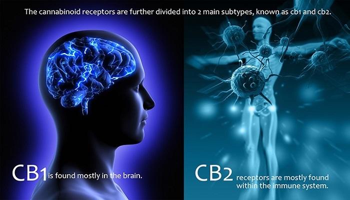 Разобщенные сигнализации CB1R
