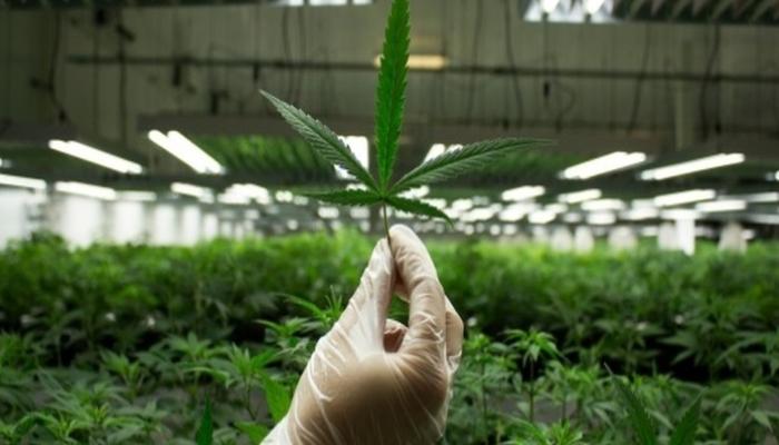 Управление марихуаной психическими заболеваниями