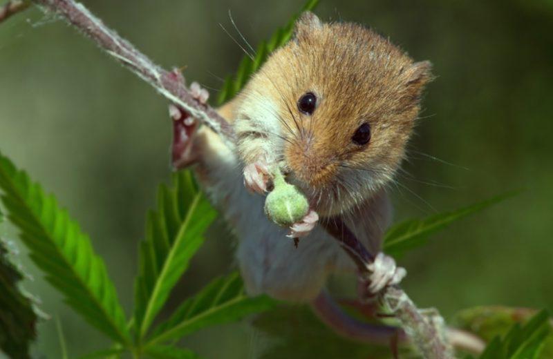 ТГК в марихуане предотвращает повреждение мозга у мышей
