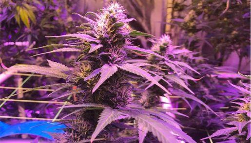 purple-kush-strain