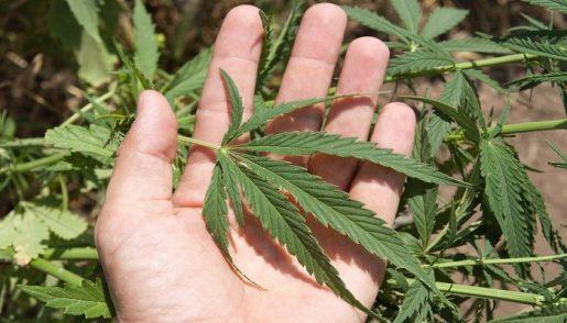 Как марихуана может вызывать психоз