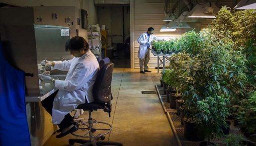 cannabis, medical marijuana