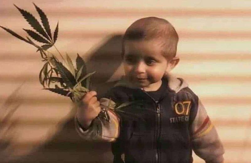 Священное растение: медицина и политика за марихуаной
