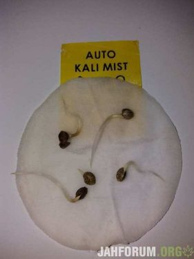 Errors Seeds, seeds, cannabis, mj, marijuana, maryjane,