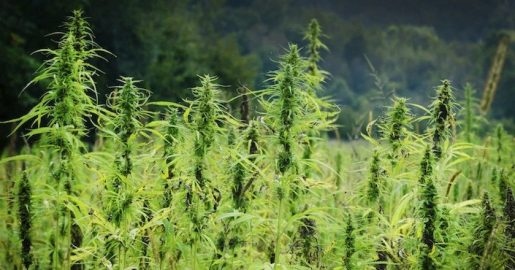 weed, cannabis,