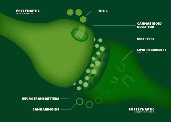 Как работают каннабиноиды: Часть I. Путь сквозь организм