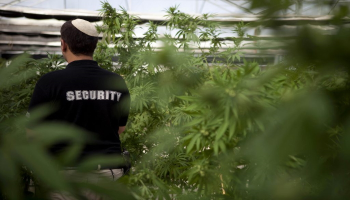 марихуана в израиле