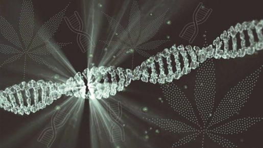 Как анализ ДНК поможет выбрать сорт каннабиса?