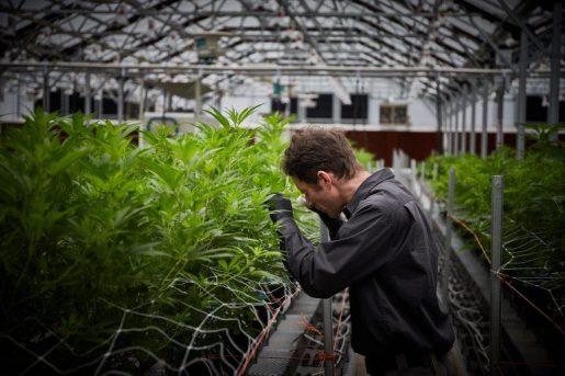 Медицинская марихуана в профессиональных теплицах